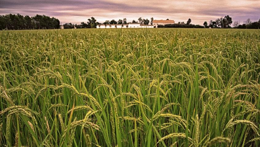 I al setembre, la sega de l'arròs!